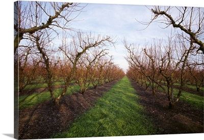 Nectarine orchard in the winter dormant stage with grassy middles
