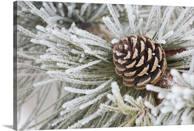 Needles Of A Pine Tree And A Pine Cone Covered In Frost, Calgary, Alberta, Canada