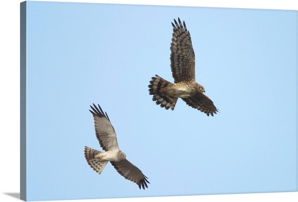 Northern Harrier Hawks In Flight Composite Digital Ak