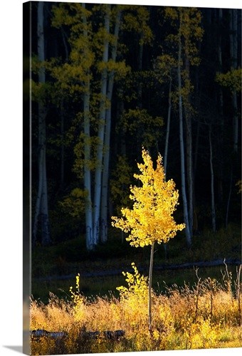 Northwest Colorado, Sunlight Illuminating Single Fall-Colored Aspen ...