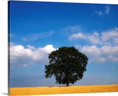 Oak Tree In A Barley Field, Ireland