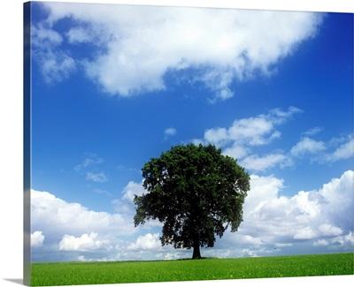 Oak Tree On A Landscape, County Meath, Republic Of Ireland