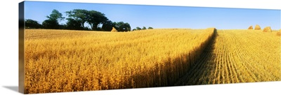 Oat Crops On A Landscape, County Dawn, Northern Ireland