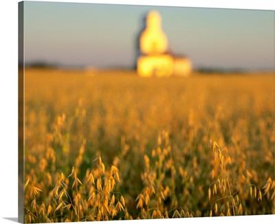 Oat Field And Silo At Sunrise, Meacham, Saskatchewan, Canada