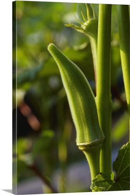 Okra pod on the plant, Tennessee