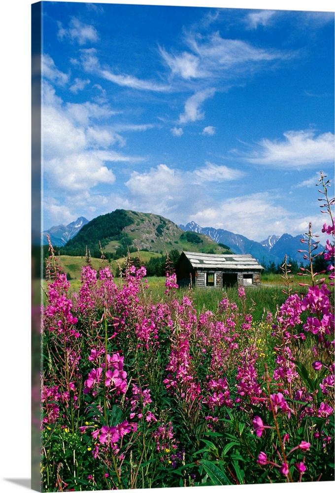 Old Cabin in Fireweed, Summer, Alaska