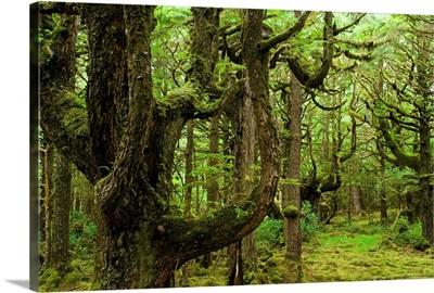 Old Growth Hemlock Trees, Queen Charlotte Islands, British Columbia, Canada