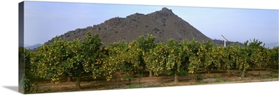 Orange grove of mature trees with a full crop of harvest ready oranges