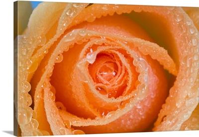 Orange Rose With Dew