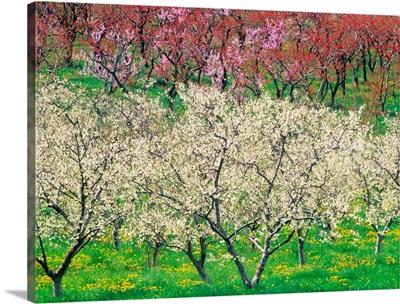 Orchard, Spring Blooms, Osoyoos, British Columbia, Canada