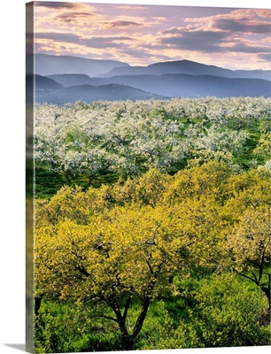 Orchards In Spring Bloom, Kelowna British Columbia, Canada