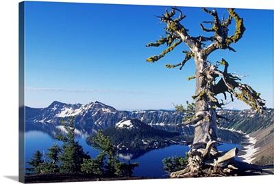 Oregon, Crater Lake National Park, Gnarled Pine Tree Snag Above Crater Lake