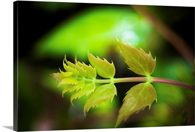 Oregon-grape grows in the forest, Westport, Oregon
