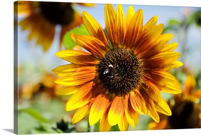 Oregon, Portland, Sauvie Island, Sunflower Hybrid And Bee