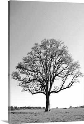 Oregon, Willamette Valley, Oak tree in early spring season