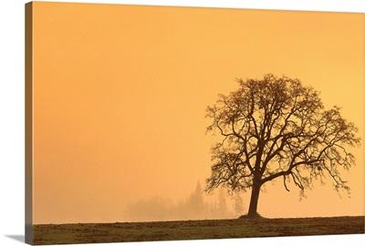 Oregon, Willamette Valley, Single Oak Tree In Fog At Sunrise