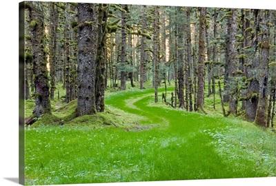 Overgrown old road through spruce forest covered in moss Kodiak Island Southwest Alaska