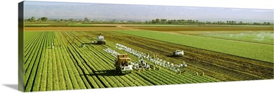 Overview of a field crew harvesting spinach
