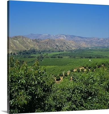 Overview of avocado groves, Ventura County, California