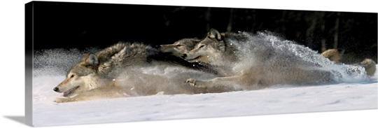 Pack Of Grey Wolves Running Through Deep Snow Wall Art