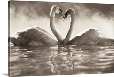 Pair of African swans faced toward each other