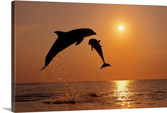 Pair Of Bottle Nose Dolphins Jumping At Sunset Roatan Honduras
