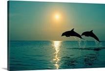 Pair Of Bottle Nose Dolphins Jumping At Sunset, Roatan, Honduras