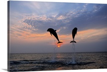 Pair of Bottle Nose Dolphins Jumping @ Sunset Roatan Honduras Summer Backlit