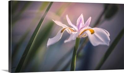 Palestine Lily, Sharon Valley, Israel