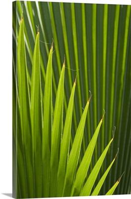 Palm tree, Grenada