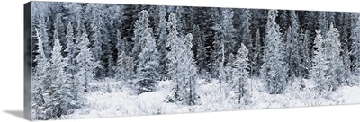 Panoramic view of hoar frost covered spruce trees in Chugach State Park