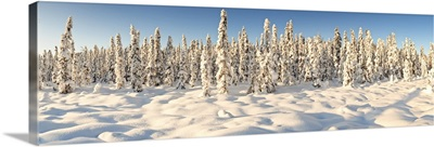 Panoramic view of snow covered spruce trees in late afternoon sun near Chugiak