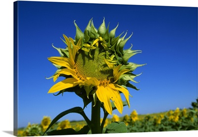 Partially opened sunflower, grown for oilseed production, Newton, Kansas