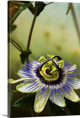 Passion flower blooms in a greenhouse, Astoria, Oregon