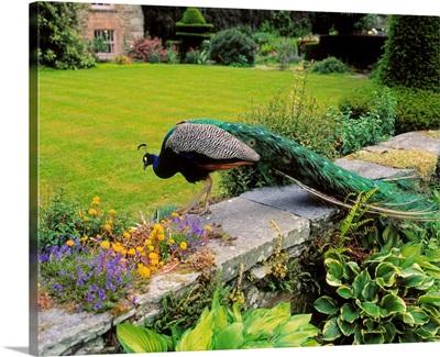 Peacock In Formal Garden, Kilmokea, Co Wexford, Ireland