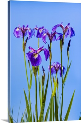 Perennial Iris Against A Deep Blue Sky, Eklutna, Alaska