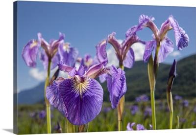 Perennial Iris, The Palmer Hayflats, Eklutna, Alaska