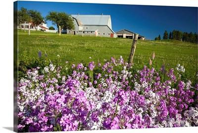 Phlox Flowers, Clinton, Prince Edward Island, Canada