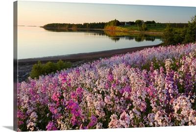 Phlox Flowers, Prince Edward Island, Canada