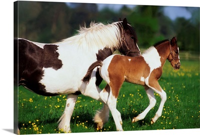 Piebald Mare And Foal