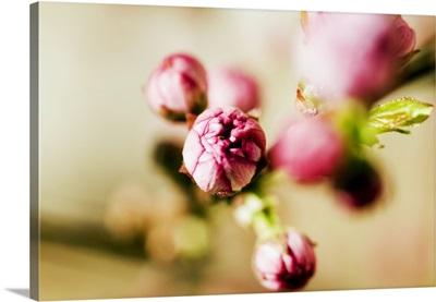 Pink Budding Flower