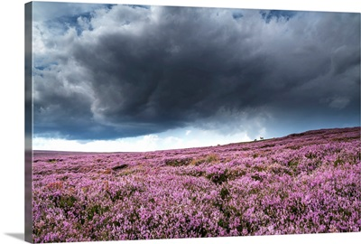 Pink flowers blossoming in a field, North Yorkshire Moors; North Yorkshire, England