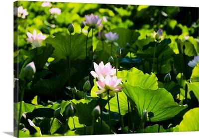 Pink Lotus Flowers Growing Among Leaves