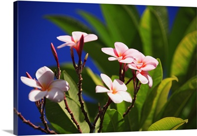 Pink Plumeria Blossoms Growing From Tree, Blue Sky In Background