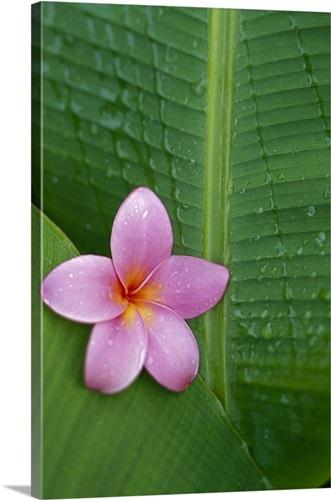 Pink plumeria flower on banana leaf raindrops detail wall art pink plumeria flower on banana leaf raindrops detail mightylinksfo