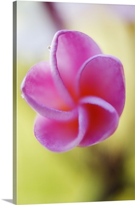 Pink Plumeria Flower, Only Partially Opened, Extreme Close-Up