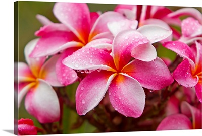 Pink plumerias covered in dew drops
