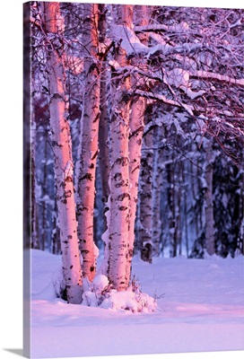 Pink Sunset light falling on Birch trees at Russian Jack Springs Park, Anchorage, AK