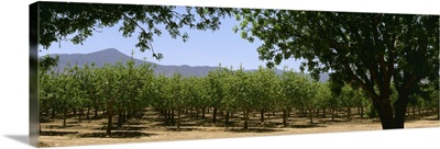 Pistachio orchard early in the growing season