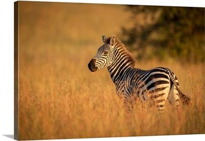 Plains Zebra Stands In Grass Watching Camera, Serengeti National Park, Tanzania